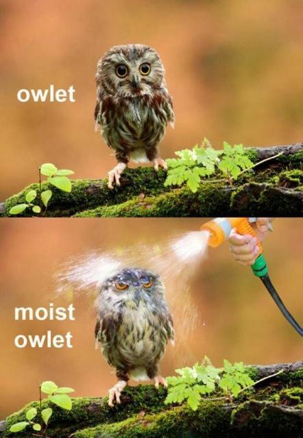 Owlet ... Moist Owlet